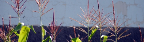 Monsanto's fading grasp